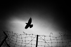 Breaking Free (Mio Cade) Tags: bird silhouette fence break free malaysia penang