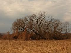 One of my favourite tree (andraszambo) Tags: old tree giant one big stream favourite fa nagy patak kedvenc egyik öreg fűz