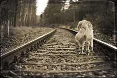 6/52 the wanderer (Ciscolo) Tags: dog texture goldenretriever tracks 50mm14 cisco wandering 652 52weeksfordogs