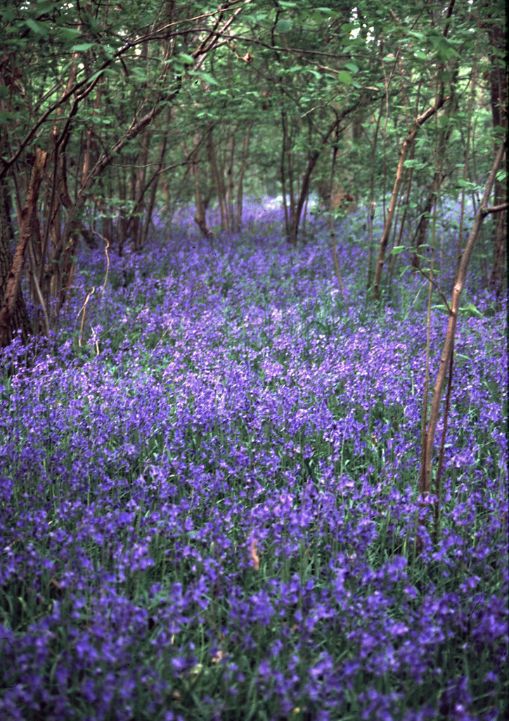 Bluebell Wood, Tollhouse Copse, Chineham