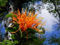 Desmaria mutabilis (Mono Andes) Tags: chile wildflower parquenacional flornaranja chilecentral quintral floranativadechile parquenacionalnahuelbuta desmariamutabilis