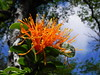 Desmaria mutabilis (Mono Andes) Tags: chile parquenacional parquenacionalnahuelbuta quintral desmariamutabilis floranativadechile flornaranja chilecentral wildflower florsilvestre