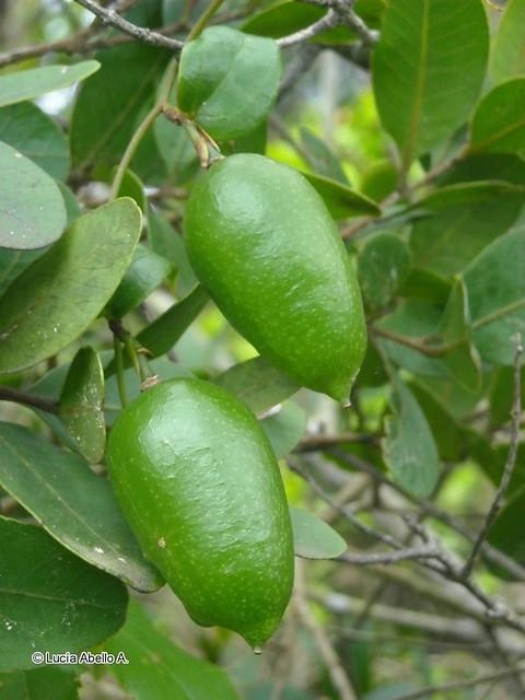 Frutos del Copihue (<i>Lapageria rosea</i>) al inicio de su maduración, y por ende de tonalidad verde. Más tarde al ir madurando el color se torna amarillento.