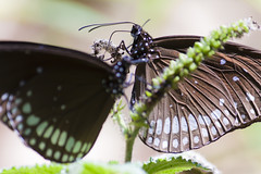 Butterflies (Jos5941) Tags: india nature canon butterfly asia butterflies papillon asie karnataka mariposa mysore inde angers incredibleindia josefernandez josfernandez