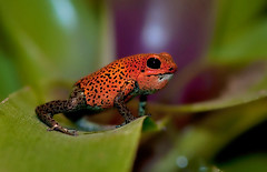 Strawberry Poison Dart Frog (Supervliegzus) Tags: macro nature nikon oliemeulen strawberrypoisondartfrog mygearandme mygearandmepremium