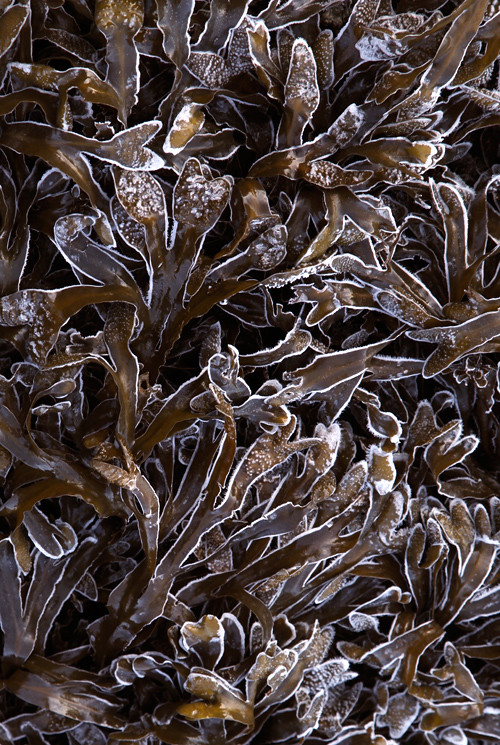 frost-lined seaweed on the beach, Kasaan, Alaska