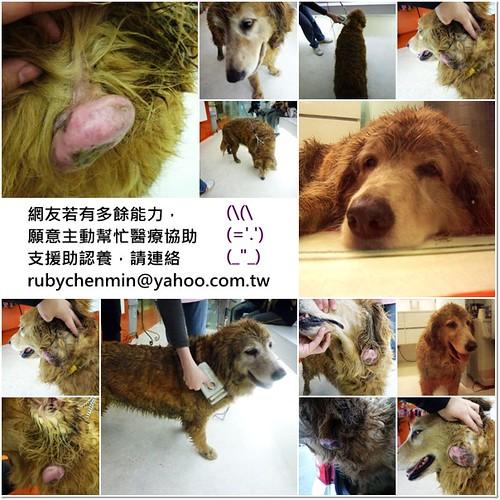 「支援助認養」從桃園八德救援的腫瘤黃金獵犬小姐~目前基本健檢有心絲蟲,需要醫療支援助認養,謝謝您,20110221