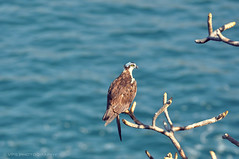 Eagle in Mexico (veronikaa) Tags: ocean blue sea brown tree bird nature animal america lens mexico photography flying photo nikon branch eagle zoom south adler feathers peak ave acapulco pajaro tamron f28 aguila 70200mm aquila orel burung aigle kotka adelaar orn orze aguia rn  vultur  helang  orao  d5000