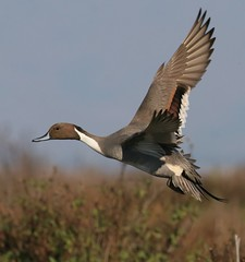 Northern Pintail (spiderhunters) Tags: california northernpintail paloaltobaylands anasacuta