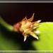 wijayakusuma flower bud