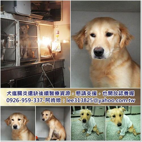 「支援助認養」桃園新屋救出約7個月混黃金獵犬小姐~已完成犬瘟腸炎醫療~後續出院需要支援,也開放認養,謝謝您~20110224