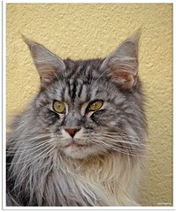 Maxwell (Jorbasa) Tags: pet animal cat germany deutschland hessen mainecoon maxwell katze kater tier tomcat wetterau jorbasa blacksilverclassictabby