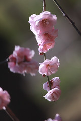 Ume  #15 (joka2000) Tags: pink light plum weeping japaneseapricot