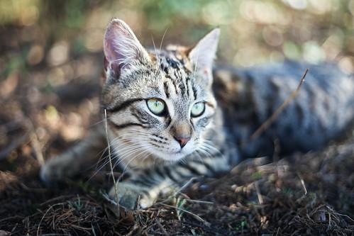 [フリー画像] 動物, 哺乳類, ネコ科, 猫・ネコ, 201103281100