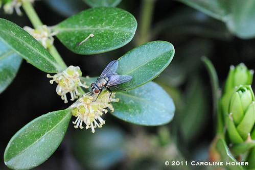 Housefly on boxwood