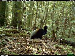 Grey-winged Trumpeter (siwild) Tags: largebirds greywingedtrumpeter psophiacrepitans taxonomy:common=greywingedtrumpeter file:name=img0007jpg sequence:index=1 sequence:length=1 siwild:study=peruocelotsurvey siwild:studyId=arabelasets siwild:plot=arabela geo:locality=northernperu taxonomy:group=largebirds siwild:location=perulocc siwild:camDeploy=perudeploy6 sequence:key=1 siwild:region=peru siwild:date=200807271535080 siwild:trigger=perubirdstaff4898 siwild:imageid=16958 sequence:id=perubirdstaff4898 file:path=epuntoc723822peru41img0007jpg BR:batch=sla1220110304035503 taxonomy:species=psophiacrepitans siwild:species=318 BR:QCID=5493135671