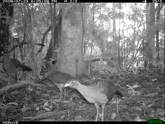 Nocturnal Currasow (siwild) Tags: largebirds nothocraxurumutum file:name=img0102jpg sequence:index=102 siwild:study=peruocelotsurvey siwild:studyId=arabelasets siwild:plot=arabela geo:locality=northernperu taxonomy:group=largebirds siwild:location=perulocg siwild:camDeploy=perudeploy13 sequence:length=110 sequence:key=55 siwild:region=peru BR:QCID=5493752500 BR:batch=sla1220110304041736 nocturnalcurrasow taxonomy:species=nothocraxurumutum taxonomy:common=nocturnalcurrasow siwild:trigger=perubirdstaff1777 sequence:id=perubirdstaff1777 siwild:date=200807231805080 siwild:imageid=5413 file:path=epuntog723822peru15img0102jpg siwild:species=322