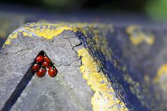 La friche aux coccinelles (Fil de fer) Tags: light abandoned jaune rouge lumière pierre vert abandon ladybug lichen normandie rotten mur caen vieux ancien pourri abandonné calcaire labybird friche crasse coquecinelle