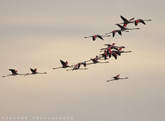 Flamingos (ZiZLoSs) Tags: canon eos flamingo flamingos 7d kuwait usm aziz 2011 abdulaziz  f56l ef400mmf56lusm zizloss  ef400mm 3aziz canoneos7d almanie abdulazizalmanie httpzizlosscom