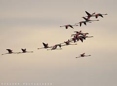 Flamingos (ZiZLoSs) Tags: canon eos flamingo flamingos 7d kuwait usm aziz 2011 abdulaziz عبدالعزيز f56l ef400mmf56lusm zizloss المنيع ef400mm 3aziz canoneos7d almanie abdulazizalmanie httpzizlosscom
