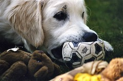 Hands off, that ball is mine (Guido Havelaar) Tags: dog chien dogs cane goldenretriever puppy hound canine retriever perro hund pup cao grcn caneimmagini fotosdoco fotosdelperro