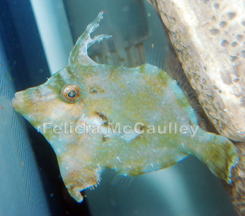 Bristletail Filefish