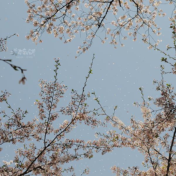 天空中飛舞著的櫻花花瓣