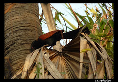 The Greater Coucal by crsphotos