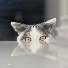 peekaboo part II ({cindy}) Tags: white reflection green yellow cat square grey golden eyes kitten peekaboo cream textures sully flypaper thelittledoglaughed thecatwhoturnedonandoff