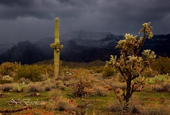 Tempered Desert (NatalieBrokaw) Tags: arizona cactus snow storm nature saguaro sonorandesert cholla superstitionmountain neargoldcanyonarizona peraltaroad