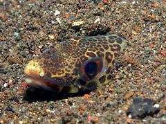 Snake eel - Indonesia (_takau99) Tags: ocean trip travel sea vacation holiday fish uw water topv111 pen indonesia underwater snake diving olympus september tropical scubadiving eel komodo 2010 takau99 snakeeel penlite epl1