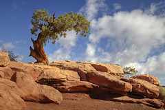Dead Horse tree (Images by Lynne) Tags: arizona southwest tree az explore redrock deadhorse