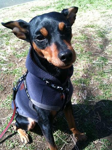散歩なのに冴えない顔の黒犬。