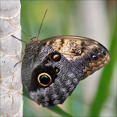 Owl Butterfly (Foto Martien) Tags: brazil holland color colour macro southamerica netherlands beautiful dutch butterfly insect mexico costarica colombia colorfull guatemala venezuela nederland honduras pale papillon borboleta tropical nicaragua elsalvador falter noordoostpolder mariposa coloured flevoland farfalla centralamerica schmetterling vlinder kleurrijk macrophoto caligomemnon butterflyhouse kleuren polychrome tawnyowl bont tropisch veelkleurig macrofoto vlindertuin kleurig amazonbasin macroopname luttelgeest giantowl eulenfalter uilvlinder vlinderhuis bananenfalter orchideenhoeve vlindervallei a550 mariposabho indoorbutterflygarden martienuiterweerd uilenvlinder martienarnhem sonyalpha550 mygearandme mygearandmepremium minoltamacro100mm28mm mygearandmebronze mygearandmesilver mygearandmegold fotomartien owlbutterfy yellowfrontedgiantowl memnonsowl overdektevlindertuin