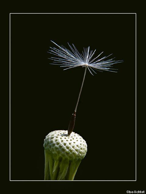 Pusteblume-Blowball