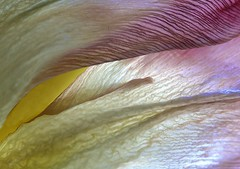 floral landscape 2 (vernon.hyde) Tags: abstract macro tulip abstraction tulippetal 105mmsigma themacrogroup