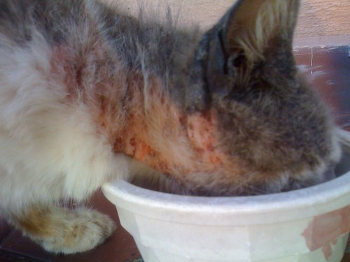 Cat Has A Bad Rash On His Neck Ask A Vet
