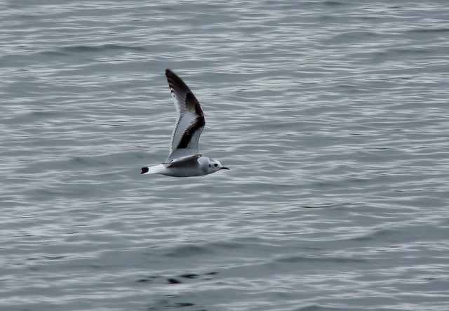 24031 - Little Gull, Sandy Water Park, Llanelli