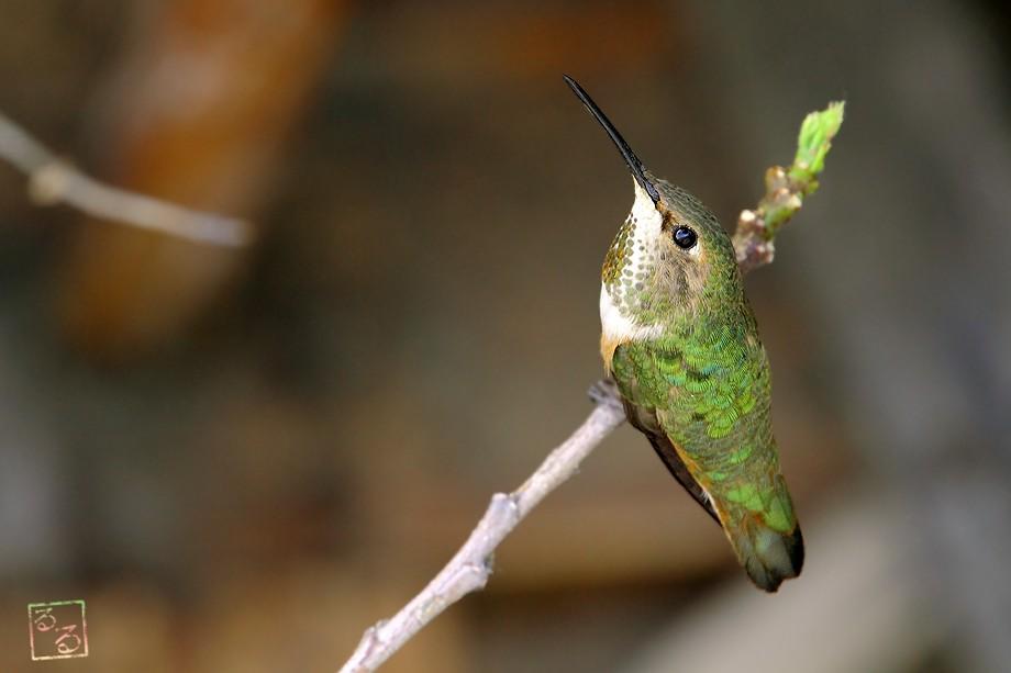 Allen's Hummingbird 032011