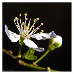 (Marjo1963) Tags: flowers white spring blossom lente wit bloesem bloemen 032011