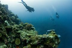 coralpoint4889pws (gerb) Tags: blue topv111 coral topv333 underwater scuba diver d200 palau tvp aquatica 105mmf28gfisheye