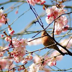 finch (OneLushLIfe - Kaishin) Tags: pink sky flower tree vancouver cherry spring flora blossom sakura 2011 kaishin wwwkaishinca