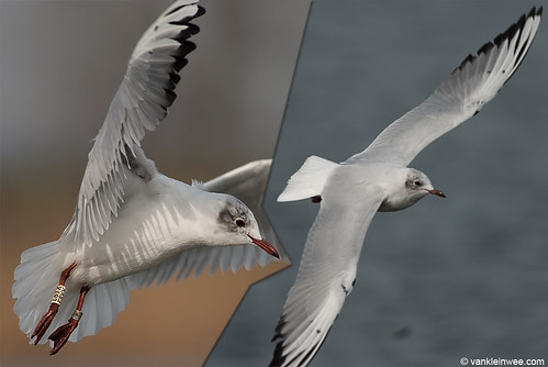 Black-headed Gull, 3cy, W[E8YX], black spots on wings
