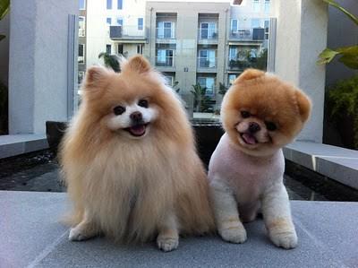 boo_Pomeranian_Dog_10