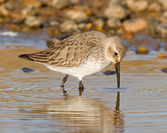 Ripples (Andrew H Wildlife Images) Tags: bird beach nature wildlife norfolk dunlin salthouse wader canon7d ajh2008