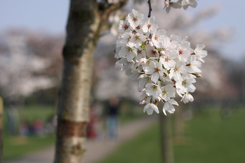 Cherry Blossom on Path I