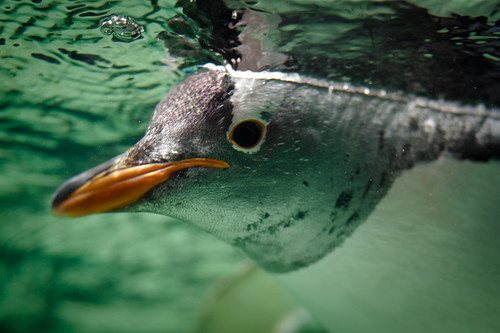 Gentoo Penguin by Connis and Arthur