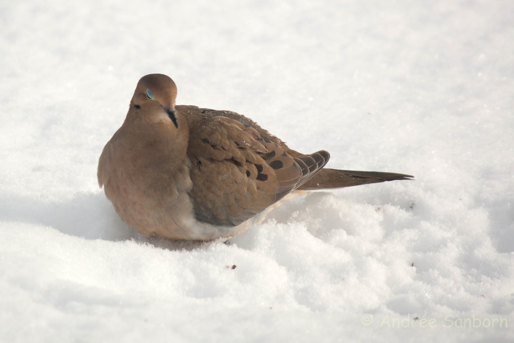 Mourning dove (13 of 44).jpg