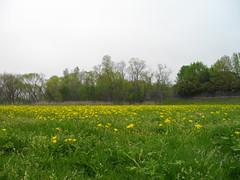 daisies, rowlett, texas