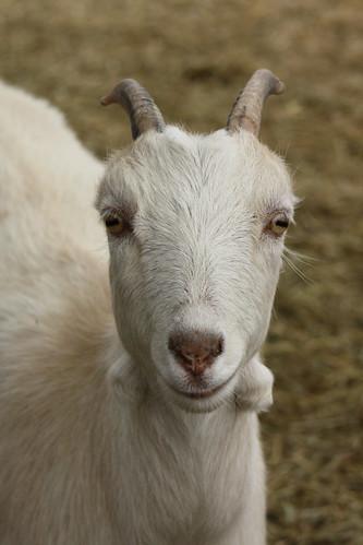 Mrs. Goat.
